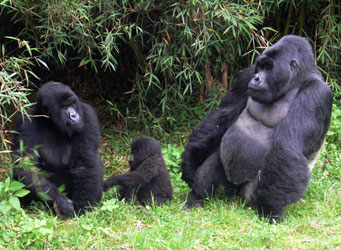 mountain_gorilla