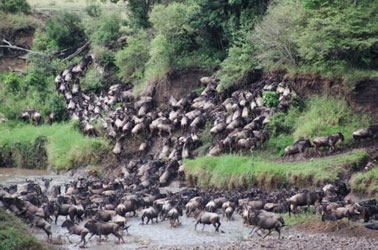 wildebeest_crossing